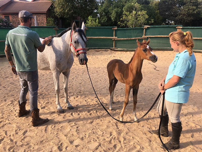 Monty Roberts Instructor Simon d'Unienville working with Arabian mare and foal